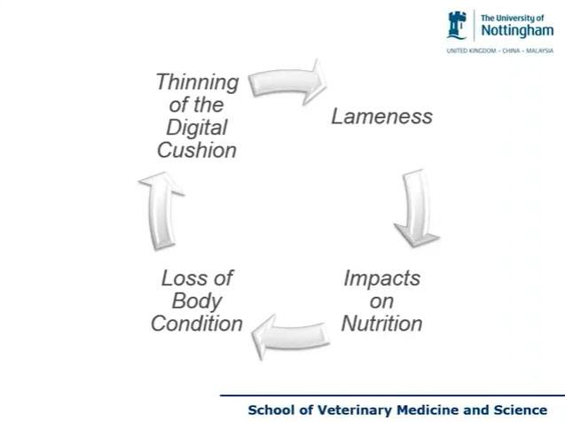 Vicious cycle on lameness factors